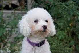 poodle x bichon frise adopt a pet bichon frise mix maya is hhappy huggable adorable