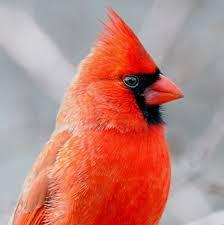 it u0027s best to see red if you u0027re a bird cosmos
