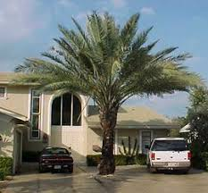 sylvester palm tree sale sylvester date palm trees for sale cape coral