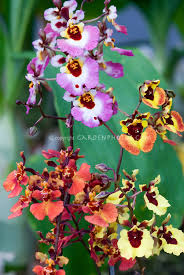 oncidium orchid tolumnia equitant oncidiums orchids several varieties together