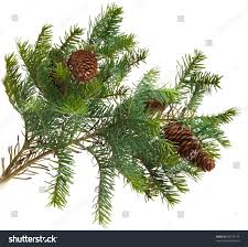 pine cones pine branches cone christmas stock photo 86770174