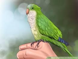 care quaker parrot 12 steps pictures