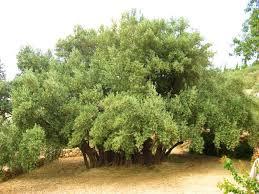 the oldest olive trees u2013 ibrahim alalou u2013 medium
