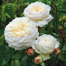 Patio Tree Rose by Garden Rose Bushes Rose Shrubs U0026 Tree Roses At Waysidegardens Com