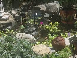 red eared slider turtles pond water plants succulents my
