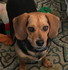 purebred beagles for adoption baltimore md washington dc area