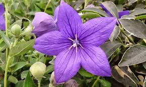 amistad salvia live blooming perennial plant velvet purple blooms