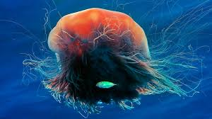 bing image archive lion u0027s mane jellyfish andrey nekrasov