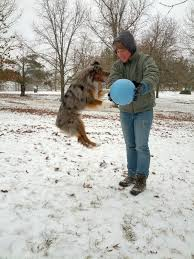 australian shepherd jump height raising a mini aussie how long does it take a mini to be full