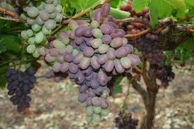How To Grow Grapes In Your Backyard by Summer Pruning Grape Vines