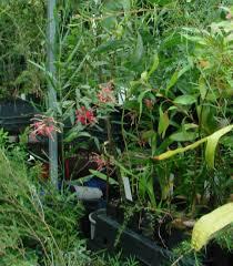 propagating australian native plants australian plants society the native garden and nurseries