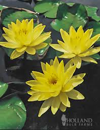 yellow lilies water sale yellow water lilies