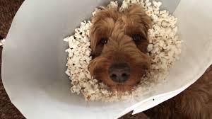 dog popcorn cone of shame youtube