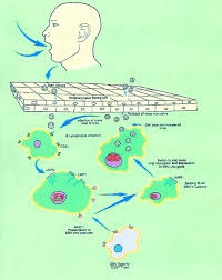 The B Epstein Barr Virus And Cancer Clinical Cancer Research