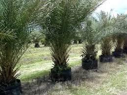 sylvester date palm tree sylvester palms 65 gallon
