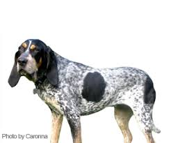 videos of bluetick coonhounds pet grooming products u0026 tips wahlpets com care for my dog