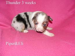 australian shepherd 3 weeks old puppy pictures kicks and giggles mini aussies