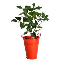 bloomsz orange tree in decorative planter bloomsz