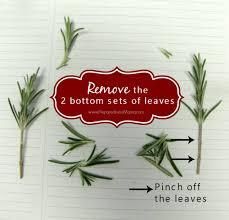 how to propagate herbs from cuttings preparednessmama