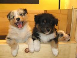 australian shepherd in labor how to help a dog whelp or deliver puppies pethelpful