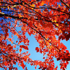 free images nature branch leaf flower autumn season maple