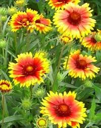 native fall flowers bloomer for late summer and early fall