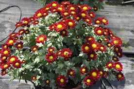 Poisonous Garden Flowers by Have Gardening Questions San Diego County Master Gardeners