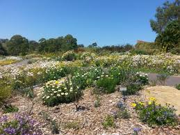 Mt Annan Botanic Gardens Connections Garden Paper Daisies Picture Of The Australian