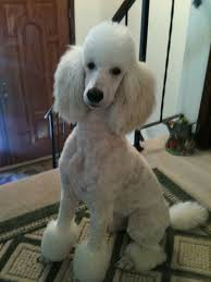pictures of poodle haircuts 28 best dog haircuts images on pinterest poodles poodle cuts