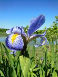 Iris Flag Warren County Conservation Board Blue Flag Marsh