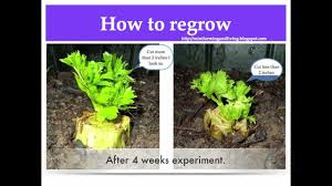 Vegetables You Can Regrow by How I Regrow Store Bought Celery Youtube