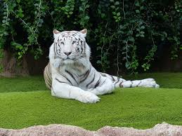 white tiger facts for all about white tiger kidz feed