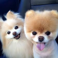 funny animal thanksgiving pictures cute pomeranian pictures popsugar pets