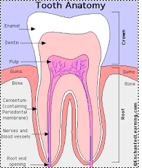 Dog Tooth Anatomy Tooth Anatomy Enchantedlearning Com