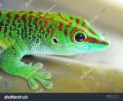 green gecko lizard stock photo 141579433 shutterstock