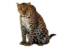 jaguar clipart leopard png transparent image free transparent png images icons