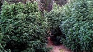 Low Light Outdoor Plants The Basics Tutorial Learn How To Grow Cannabis Indoors Grow