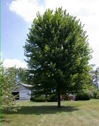 what size shade tree to buy to get the largest tree