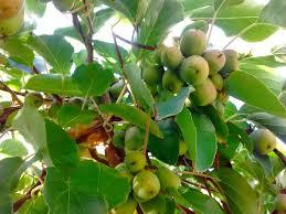 hardy kiwi u2013 philadelphia orchard project