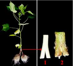 scion plant establishment of new split root system by grafting u2014bio protocol