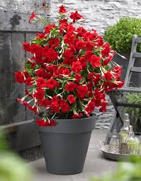 sundaville grand red world u0027s no 1 mandevilla dipladenia