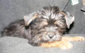 affenpinscher near me affenshire affenpinscher x yorkshire terrier mix info