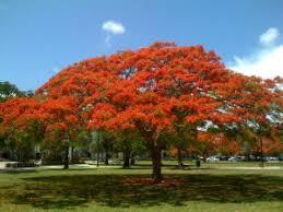 ls that look like trees delonix regia royal poinciana tree sun ls 35 40x45 60 wide