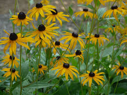 florida native plants list florida native butterfly nectar rudbeckia hirta black eyed