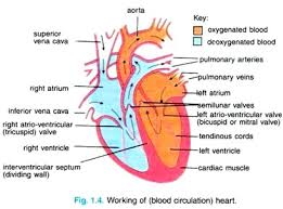 Anatomy Of Human Heart Pdf Essay On Human Heart Location Structure And Other Details With
