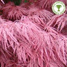 decorative trees for home acer palmatum dissectum crimson queen buy weeping maple trees
