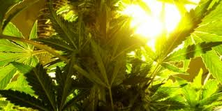 how much light do pot plants need dark cycle interrupted no flowers marijuana problems