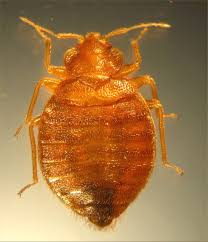 What Does Bed Bugs Eggs Look Like Bed Bug Update The Bugs Aren U0027t The Only Threat Retort