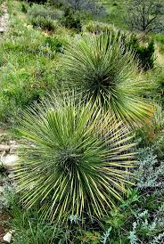 native australian desert plants 65 best desert plants images on pinterest desert plants deserts