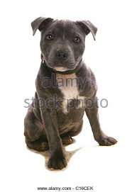 american pitbull terrier in uk staffordshire bull terrier puppy cute stock photos u0026 staffordshire
